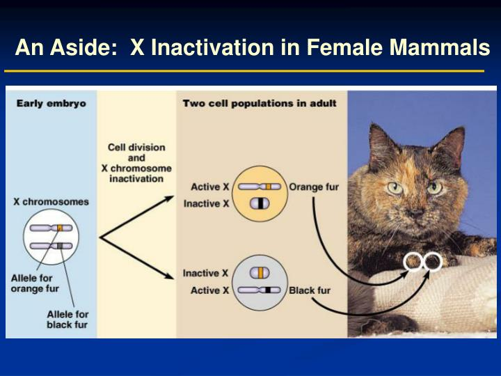 An Aside:  X Inactivation in Female Mammals