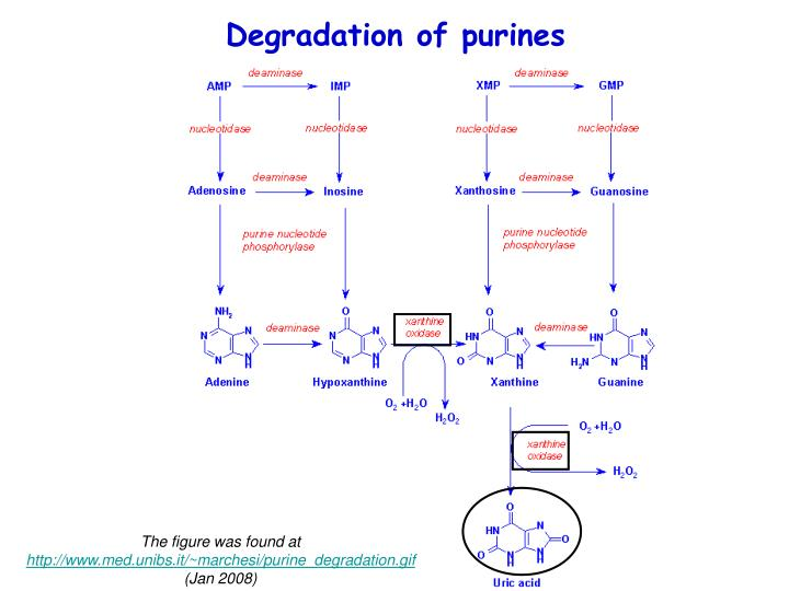 Degradation of purines