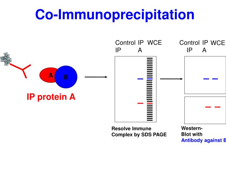 Co-Immunoprecipitation