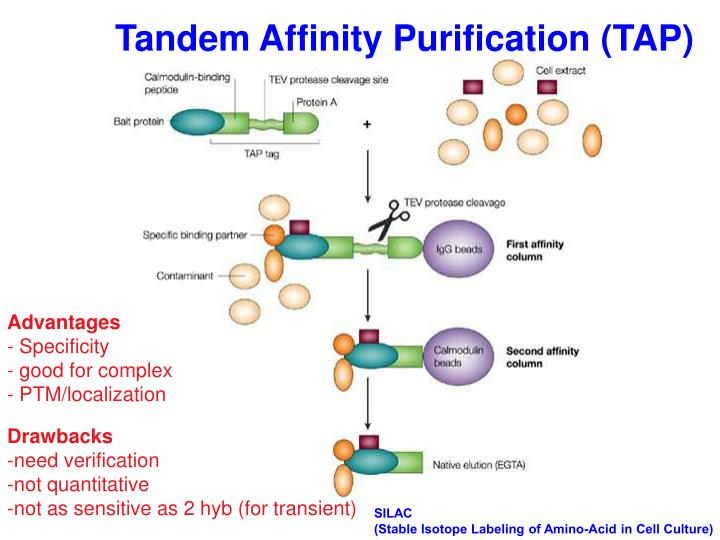 Tandem Affinity Purification (TAP)