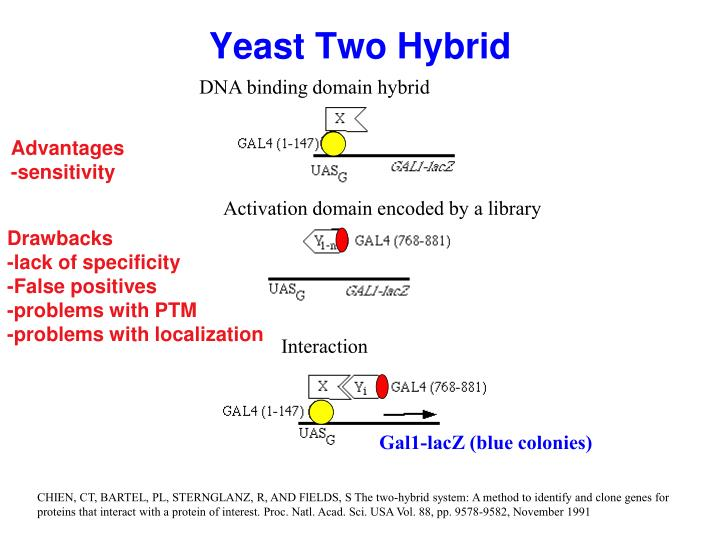 Yeast Two Hybrid