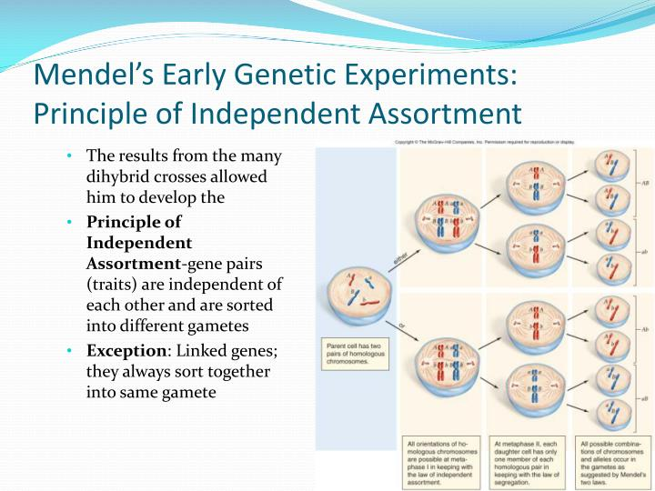 Mendel's Early Genetic Experiments: Principle of Independent Assortment