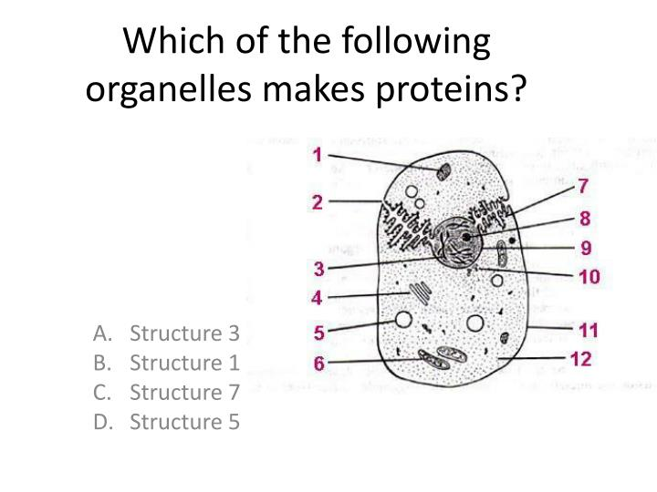 Which of the following organelles makes proteins?