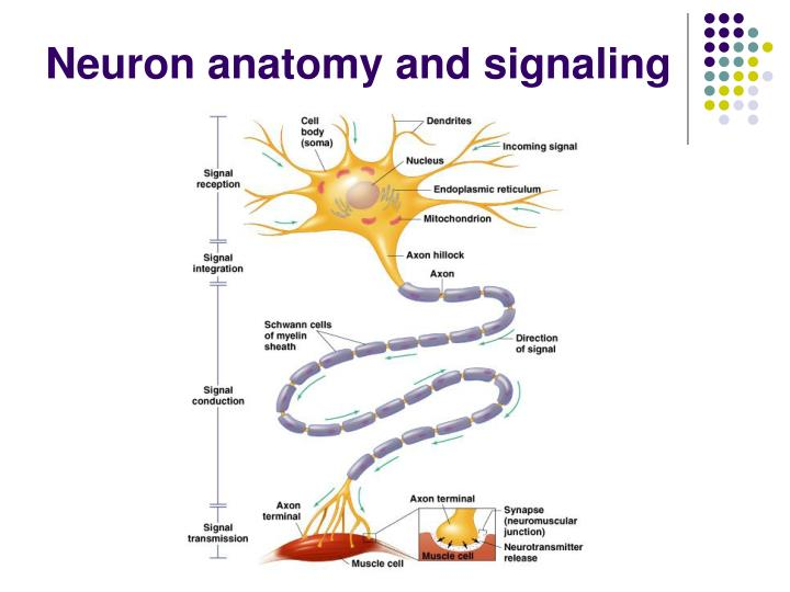 Neuron anatomy and signaling