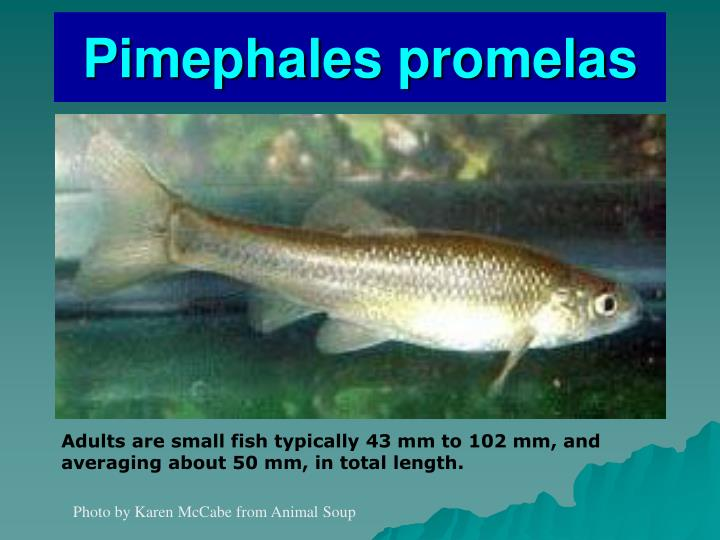 Pimephales