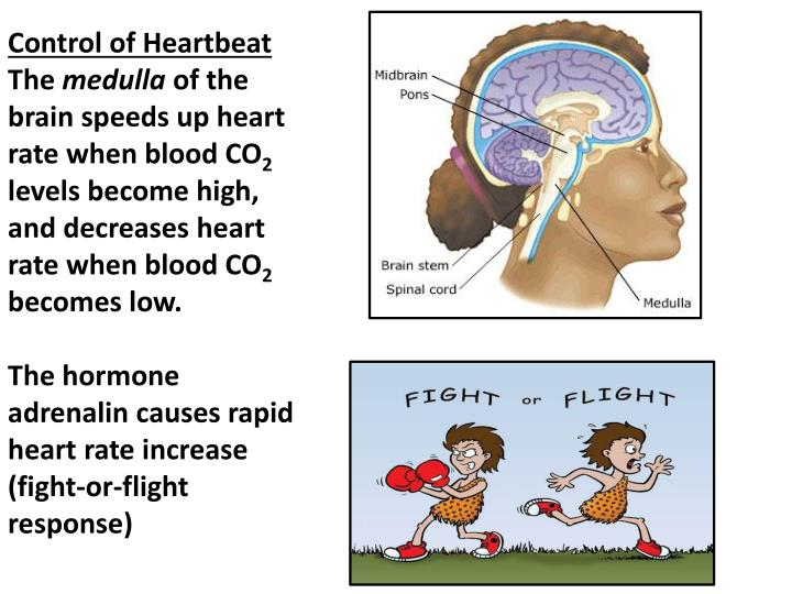 Control of Heartbeat