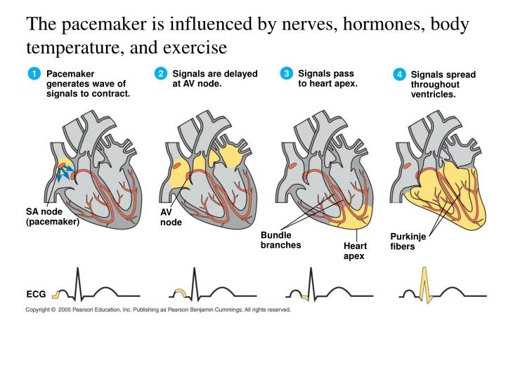 The pacemaker is influenced by nerves, hormones, body temperature, and exercise