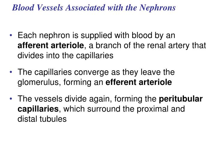 Blood Vessels Associated with the Nephrons