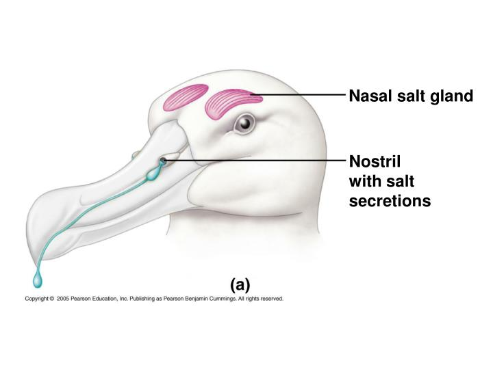 Nasal salt gland
