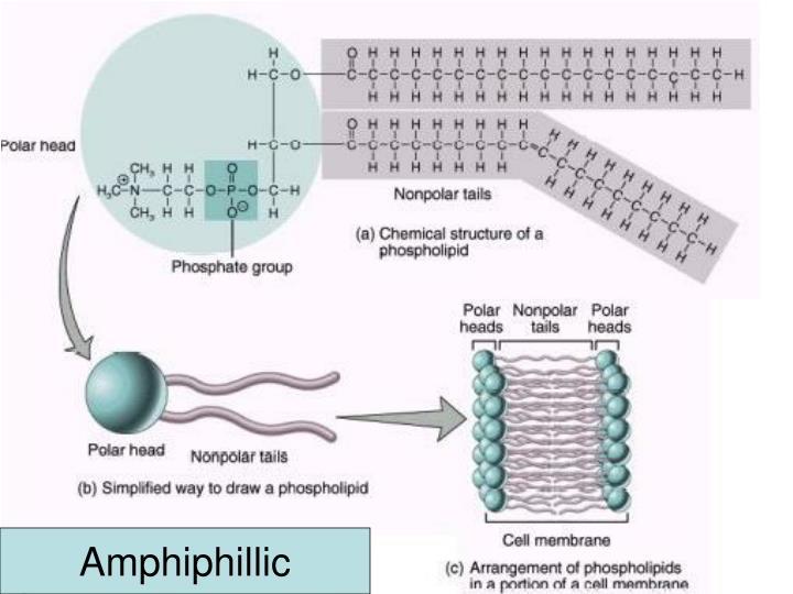 Amphiphillic
