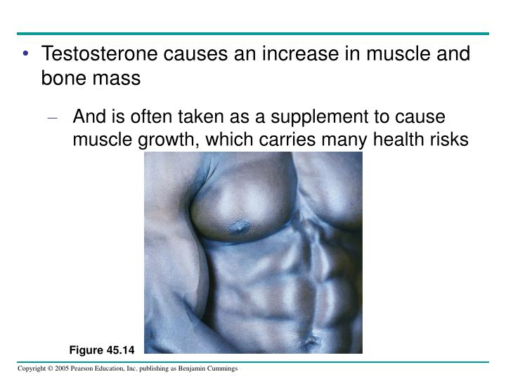 Testosterone causes an increase in muscle and bone mass