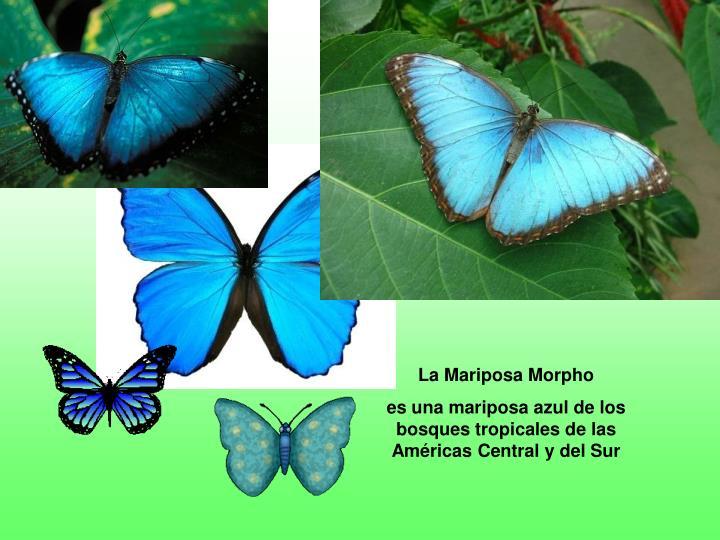 La Mariposa Morpho
