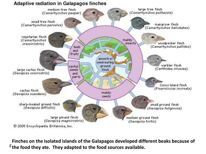 Finches on the isolated islands of the Galapagos developed different beaks because of the food they ate.  They adapted to the food sources available.