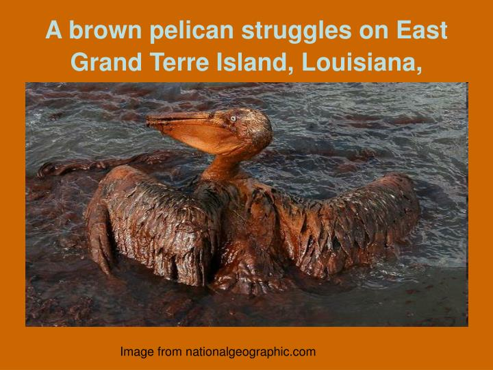 A brown pelican struggles on East Grand Terre Island, Louisiana,