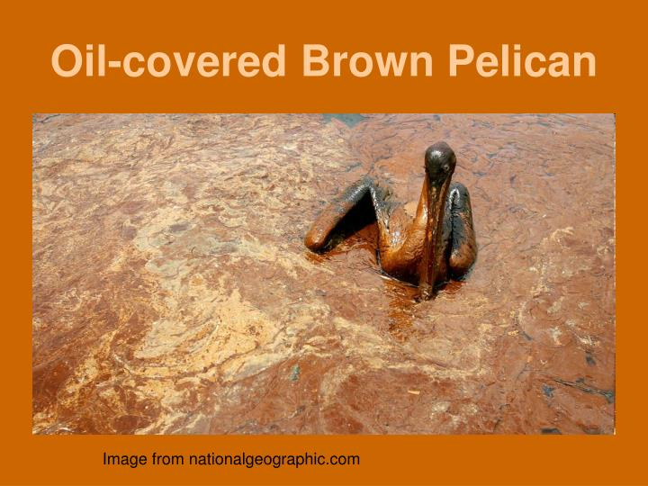 Oil-covered Brown Pelican