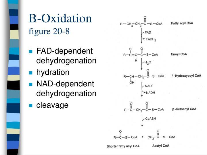 B-Oxidation