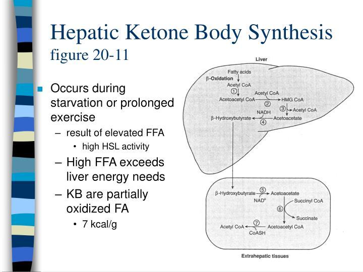 Hepatic Ketone Body Synthesis