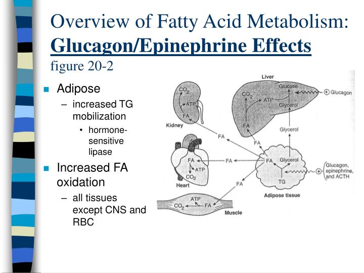 Overview of Fatty Acid Metabolism: