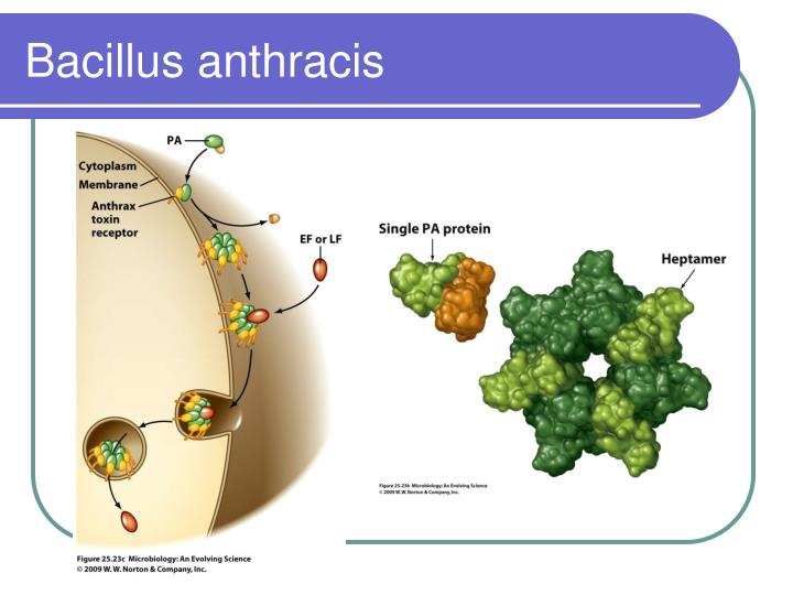 symtomps and causes of bacillus anthracis essay Chap 19 foundations of play characteristics of bacillus anthracis include all the following, except: b it can cause pneumonia with symptoms similar to.