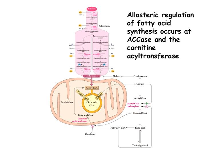 Allosteric regulation of fatty acid synthesis occurs at ACCase and the carnitine acyltransferase