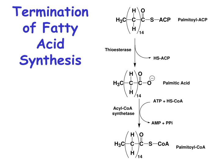 Termination of Fatty Acid Synthesis