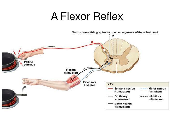 A Flexor Reflex