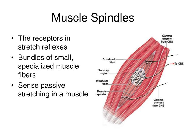 The receptors in stretch reflexes