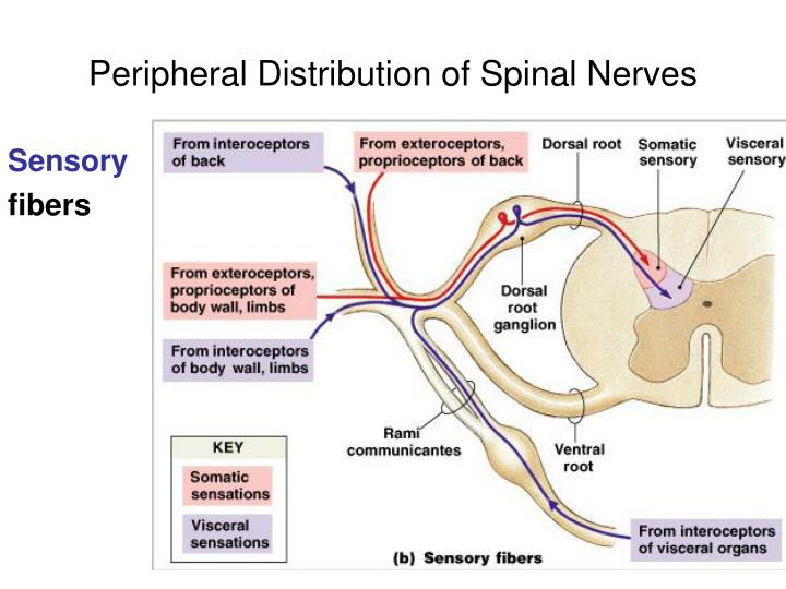 Peripheral Distribution of Spinal Nerves