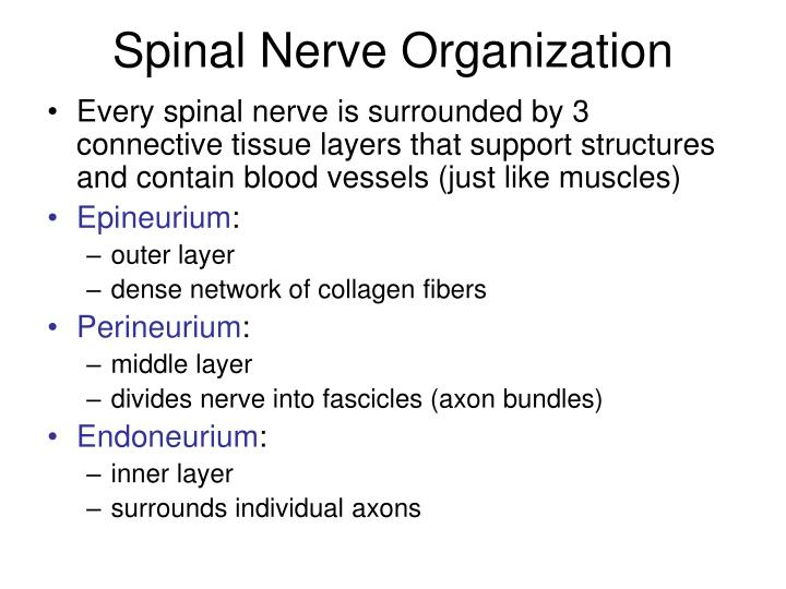 Spinal Nerve Organization