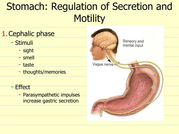 Stomach: Regulation of Secretion and Motility