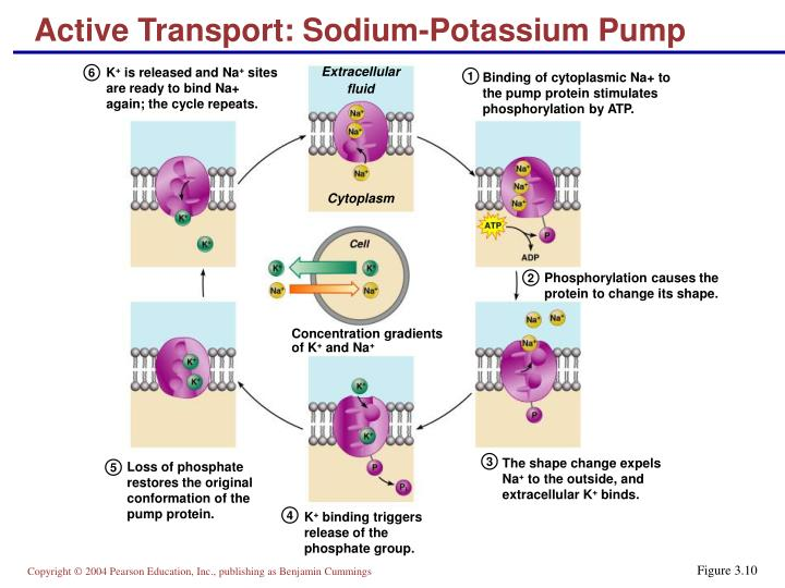 Active Transport: Sodium-Potassium Pump