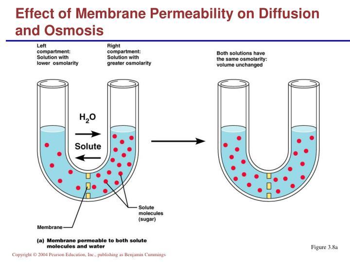 Effect of Membrane Permeability on Diffusion and Osmosis
