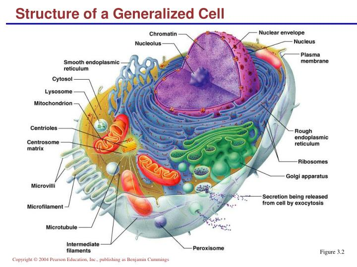 Structure of a generalized cell