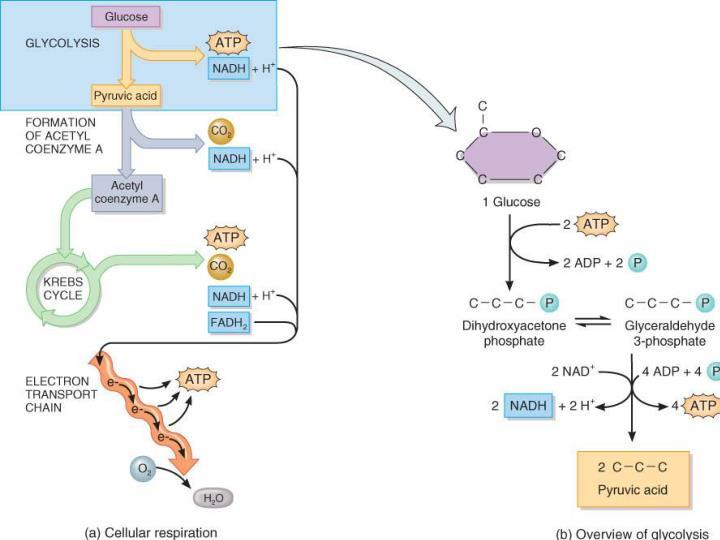 Glucose Catabolism