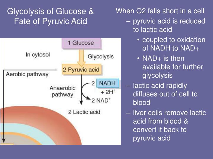 Glycolysis of Glucose & Fate of Pyruvic Acid