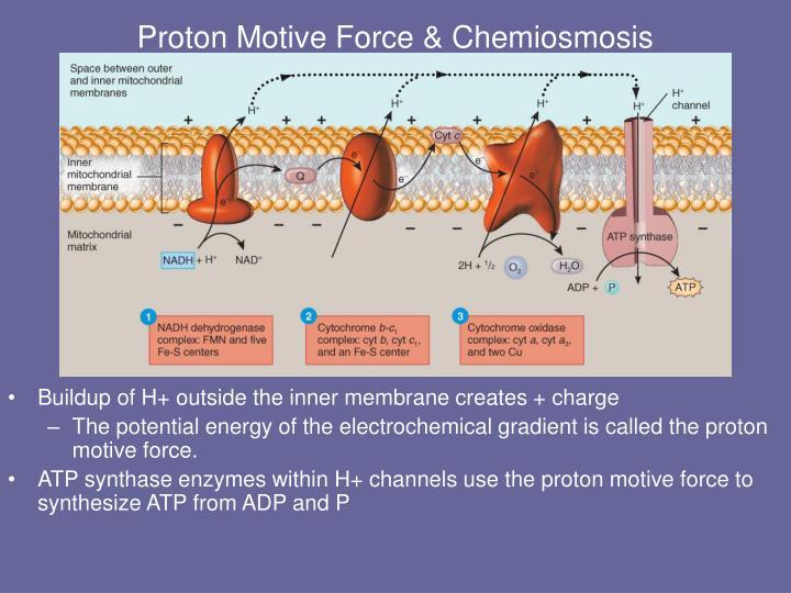 Proton Motive Force & Chemiosmosis