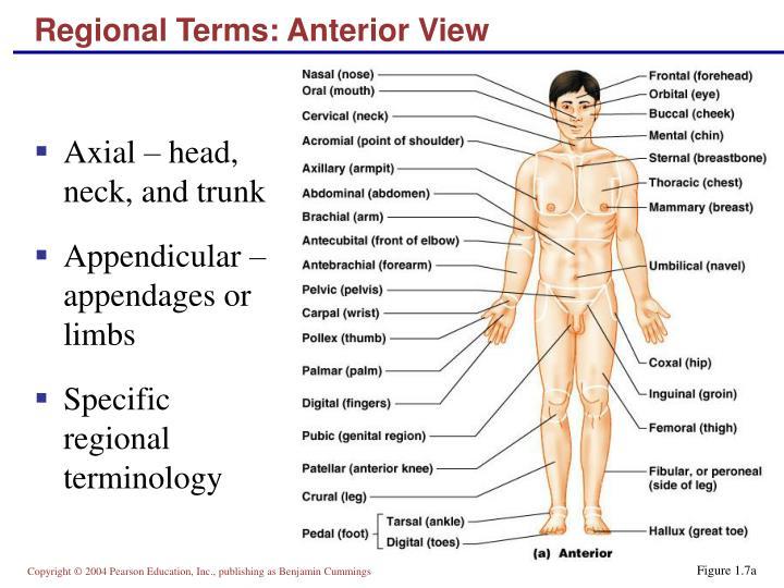 Regional Terms: Anterior View