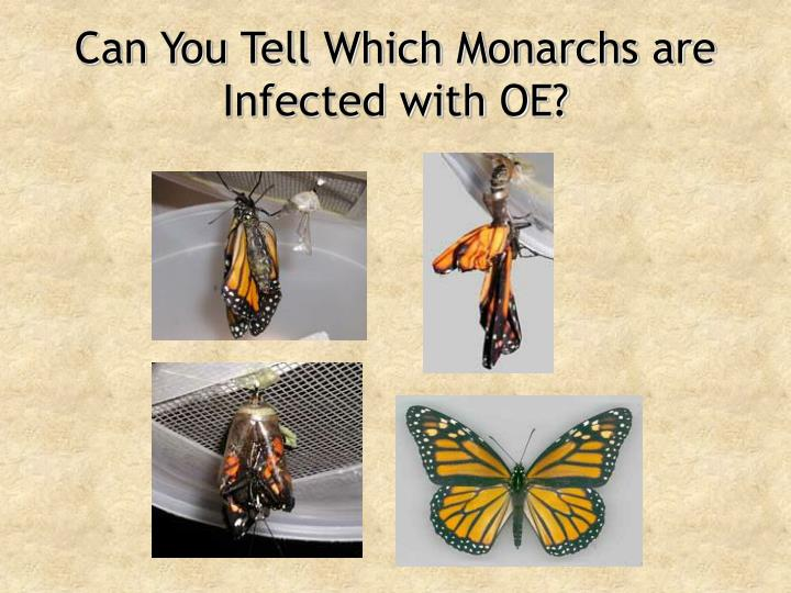 Can You Tell Which Monarchs are Infected with OE?