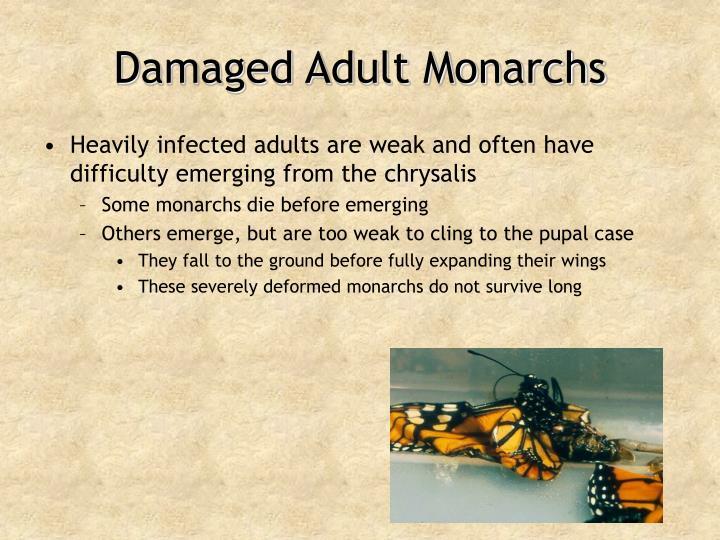 Damaged Adult Monarchs