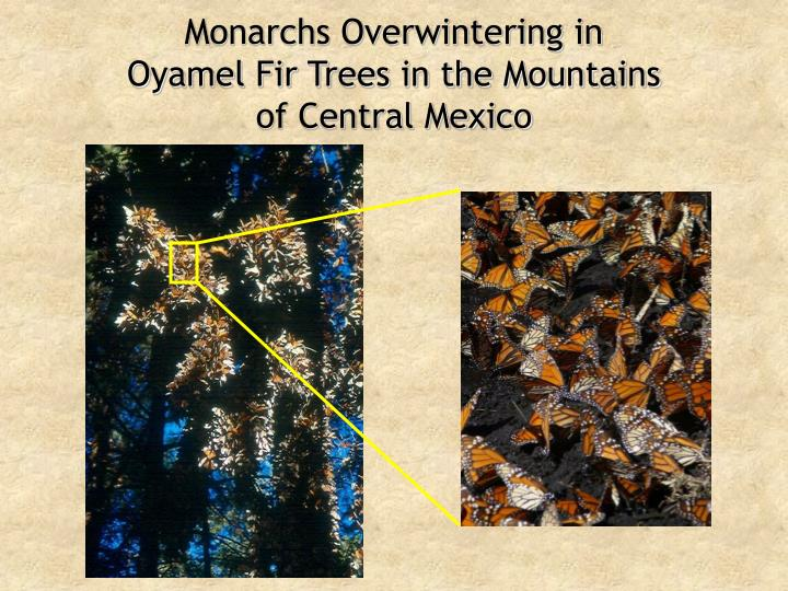 Monarchs Overwintering in