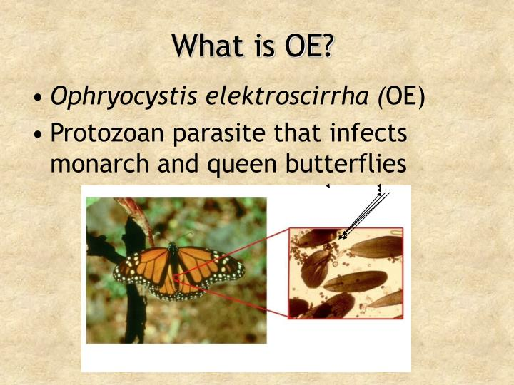 What is OE?