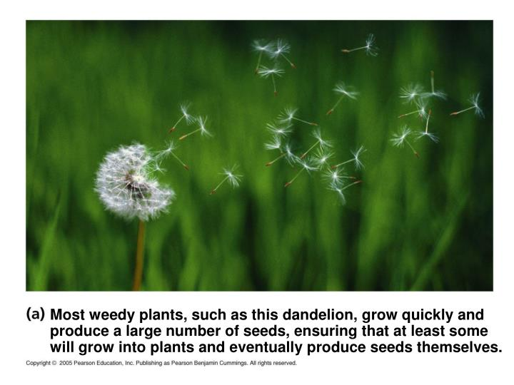 Most weedy plants, such as this dandelion, grow quickly and produce a large number of seeds, ensuring that at least some will grow into plants and eventually produce seeds themselves.