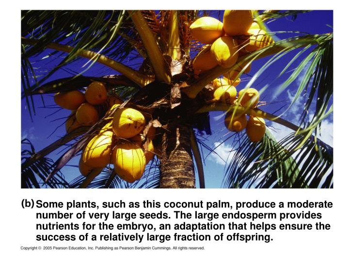 Some plants, such as this coconut palm, produce a moderate number of very large seeds. The large endosperm provides nutrients for the embryo, an adaptation that helps ensure the success of a relatively large fraction of offspring.