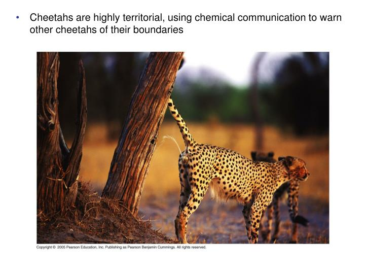 Cheetahs are highly territorial, using chemical communication to warn other cheetahs of their boundaries