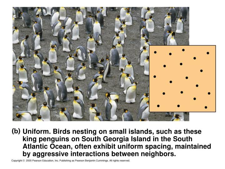 Uniform. Birds nesting on small islands, such as these king penguins on South Georgia Island in the South Atlantic Ocean, often exhibit uniform spacing, maintained by aggressive interactions between neighbors.