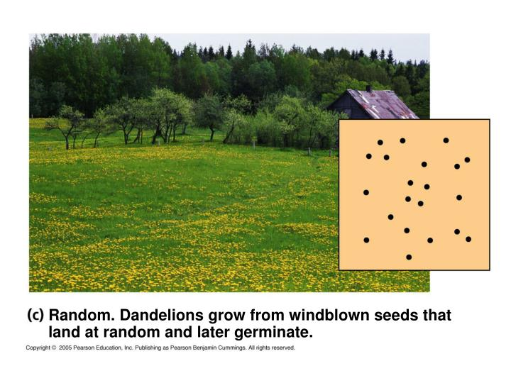 Random. Dandelions grow from windblown seeds that land at random and later germinate.