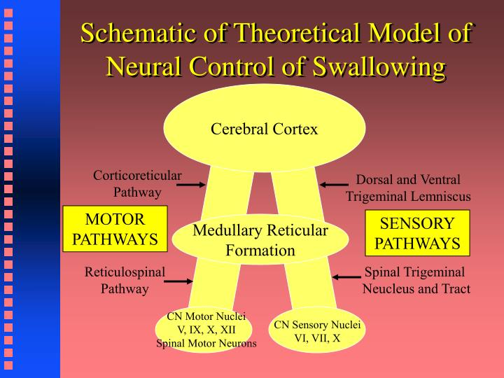 Schematic of Theoretical Model of Neural Control of Swallowing