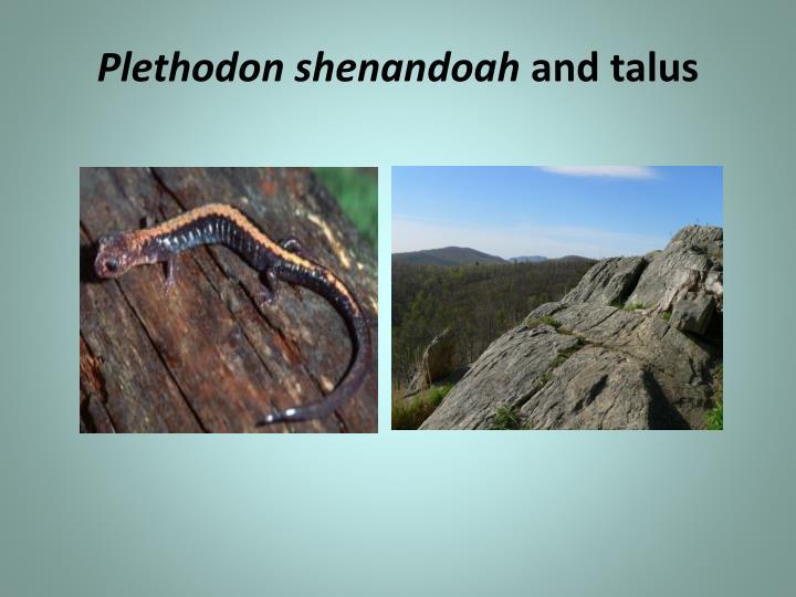 Plethodon shenandoah