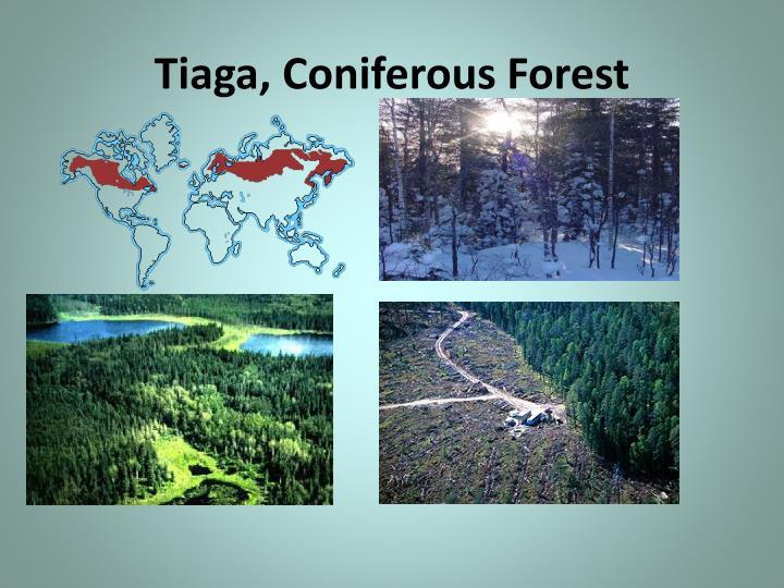 Tiaga, Coniferous Forest