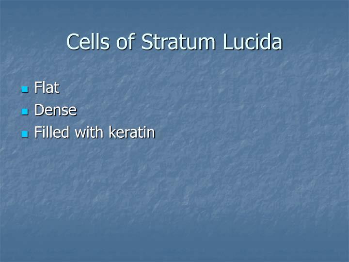 Cells of Stratum Lucida
